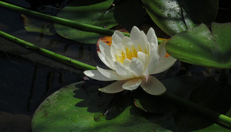 white lotus flower in pond